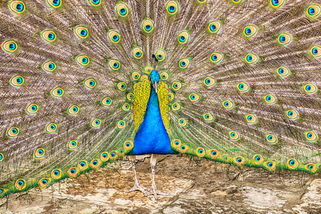 genera: An Indian peacock genera pavo male has spread its feathers wide across the full frame of the image to show the irridescent plumage while walking across a courtyard in the Castelo de Sao George in Lisbon.. Stock Photo