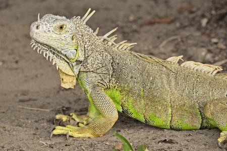 A common green iguana (species: igauna iguana) takes a moment to rest while crawling on a dirt path. Stock Photo