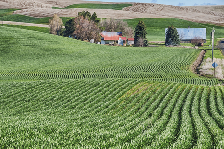 A homestead farm in the Palouse is surrounded by rolling hills of wheat fields. Typical of agriculture in the region, the fields follow the contours of the rolling hills. Stock Photo