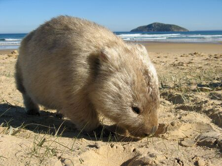 wombat: Wilsons Promontory Wombat Foto de archivo