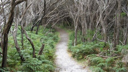 wilsons promontory: walking track through ferns and tea tree