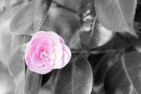 Pink Blossom Banco de Imagens