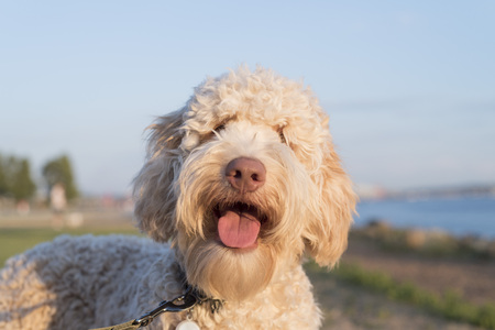 Cobber dog, smiling cute puppy Stock Photo