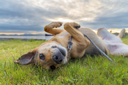 Adorable mixed breed dog rolling in grass under sunset clouds Stok Fotoğraf - 80166979