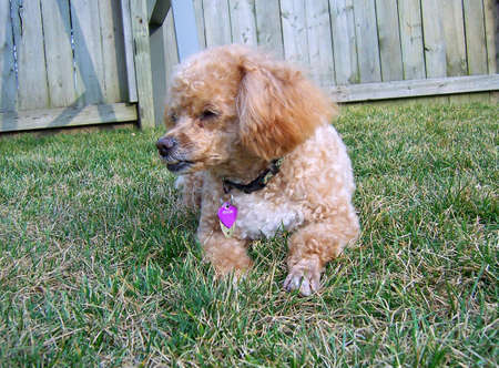 miniature apricot poodle resting in the grass