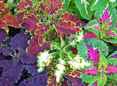 assortment of brightly colored coleus leaves house plants Stock Photo
