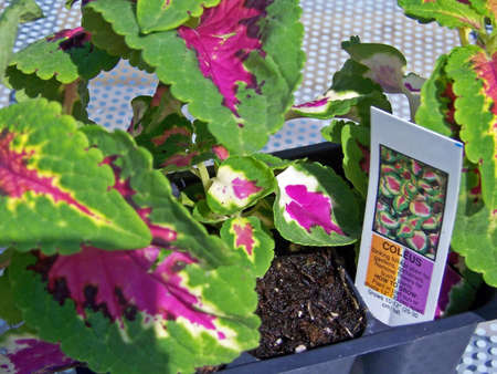 coleus plants in container ready for transplant