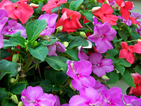 detail of impatiens flowers and green leaves