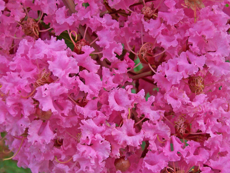 closeup of a blooming crape myrtle shrub  Stock Photo - 1470576