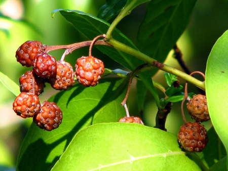 a closeup view of berries stem leaves