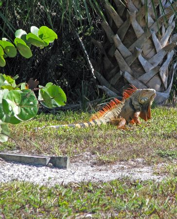 sighted: an exotic lizard iguana sighted in Florida