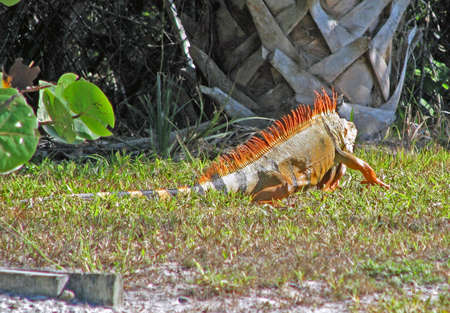 sighted: an exotic green iguana sighted in Florida