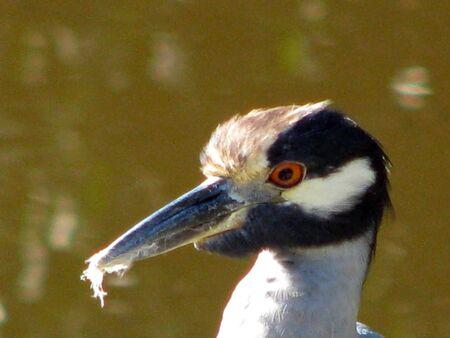 ding: Yellow crowned Night Heron Ding Darling Wildlife Refuge Florida