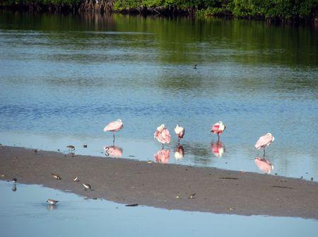 roseate: Roseate Spoonbill Ding Darling Wildlife Refuge Florida