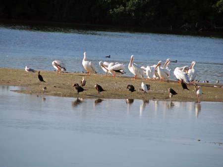 wade: American White Pelicans Ding Darling Wildlife Refuge Florida Stock Photo