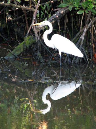 ciconiiformes: Great Egret Ding Darling Wildlife Refuge Florida Stock Photo