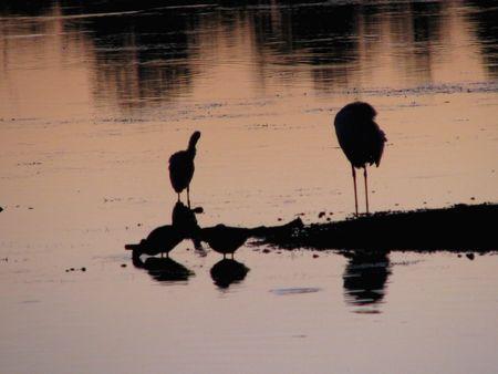 ding: birds silhouette at sunset Ding Darling Wildlife Refuge Florida