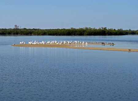 ding: American White Pelicans Ding Darling Wildlife Refuge Florida Stock Photo