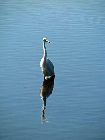 ding: Great Egret Ding Darling Wildlife Refuge Florida Stock Photo