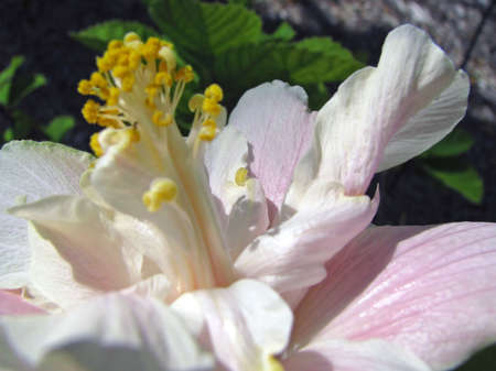 close-up of a pale pink hibiscus flower photo