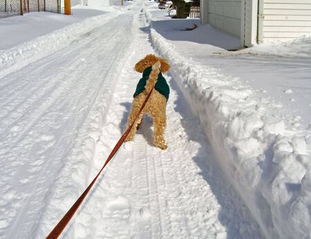 walking poodle down a snow covered alley Stock Photo - 2680663