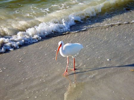 ciconiiformes: white ibis in Florida shallow ocean waters