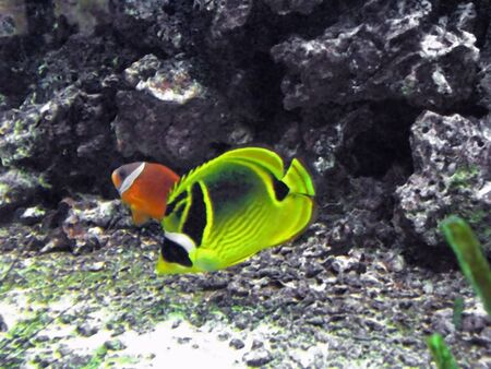 photo of tropical fish in an aquarium Stock Photo - 2927141