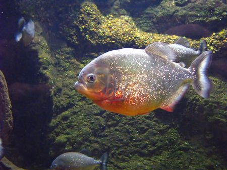 pirana: photo of piranha fish in an aquarium