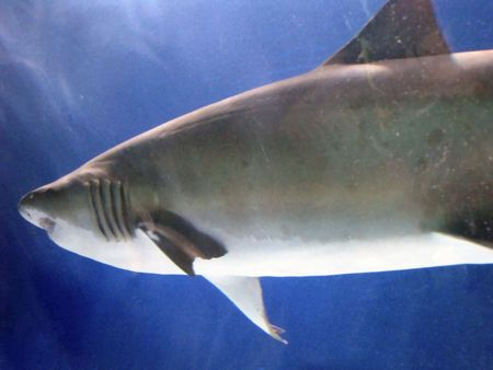 streamlined: photo of a shark in an aquarium
