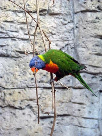 cockatoos: Lorichetto arcobaleno coloratissimi appesa sul ramo Archivio Fotografico