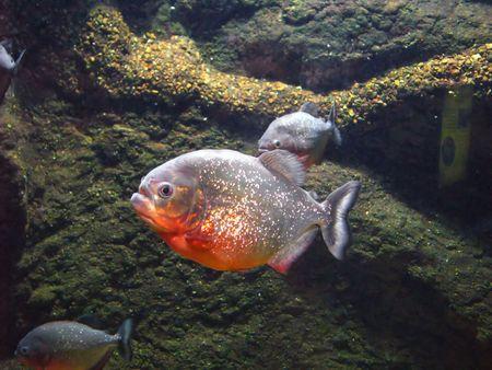 freshwater aquarium plants: photo of piranha fish in an aquarium