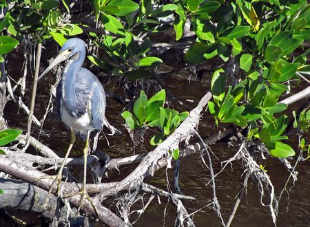 ardeidae: Little Blue Heron Ding Darling Wildlife Refuge Florida Stock Photo