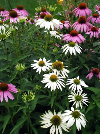 coneflowers: backyard garden coneflowers blooming with vibrant colors