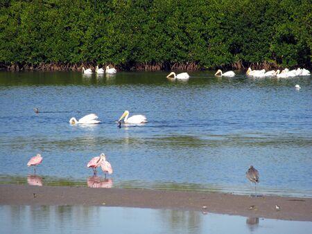wading: wading birds Ding Darling Wildlife Refuge Florida