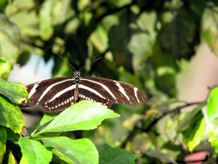 longwing: close-up photograph of a zebra longwing butterfly