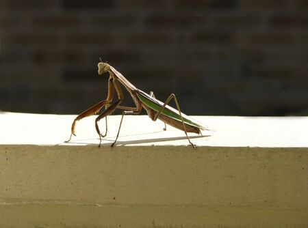 predatory insect: green and brown predatory praying mantis insect Stock Photo