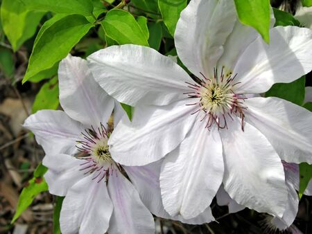 beautiful closeup photo of two white clematis Stock Photo