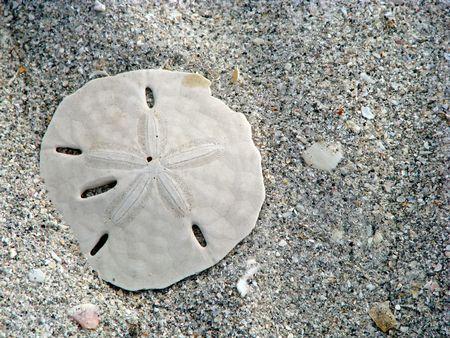 sand dollar: Lone d�lar de arena y conchas marinas en la playa