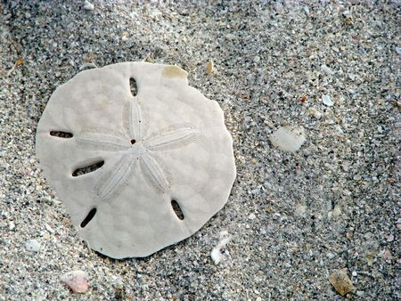 lone sand dollar and sea shells on beach