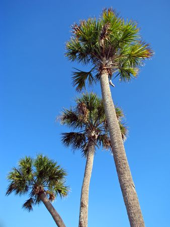 three palm trees: three palm trees against cloudless blue sky