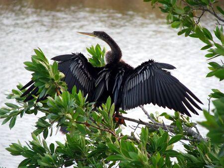 birdwatching: Anhinga Ding Darling Wildlife Refuge Sanibel Florida