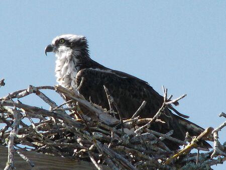 ding: Osprey Ding Darling Wildlife Refuge Sanibel Florida