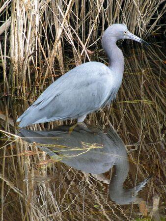 ding: Little Blue Heron Ding Darling Wildlife Refuge Florida Stock Photo