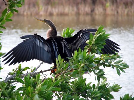 ding: Anhinga Ding Darling Wildlife Refuge Sanibel Florida