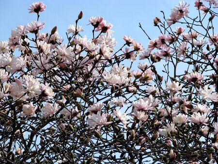 beautiful photo of magnolia tree in bloom Stock Photo - 4237503