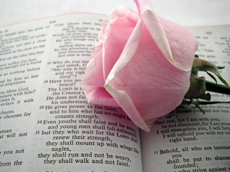 scripture: opened bible and pink rose bud book of Isiah
