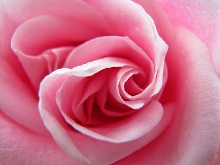 closeup photo of beautiful pink rose flower