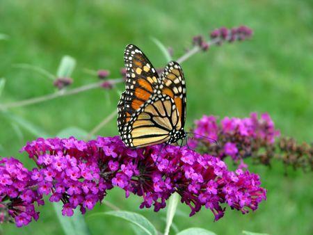나비 부시에 아름다운 오렌지 모나크 나비 스톡 콘텐츠