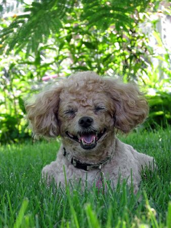 miniature apricot poodle resting in summer shade