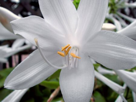 angiosperms: summer Hosta flower blooming with vibrant white Stock Photo